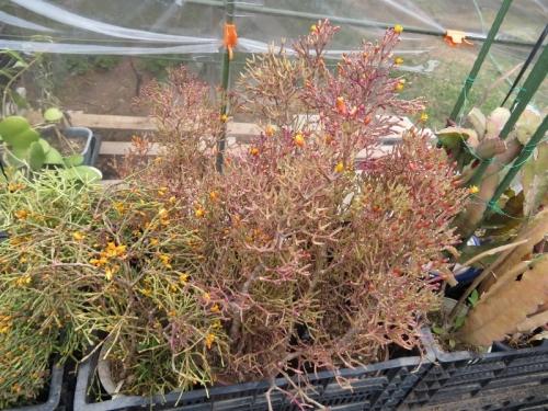 ハチオラ・猿恋葦、屋外簡易ビニールハウス内で冬越できました。遅れて蕾がこれから咲きます♪2020.05.03