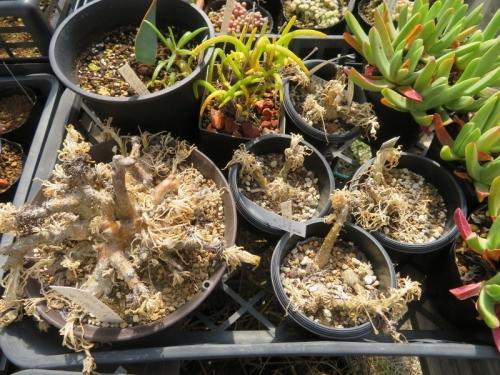 フィロボルス、モニラリア、高温期休眠タイプの塊根類も葉が枯れ休眠です。2020.05.04