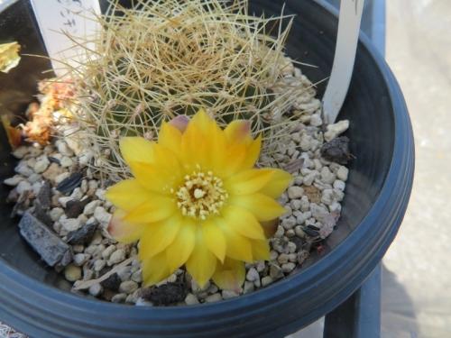 スルコレブチア・カンディアエ(黄色花)2020.05.08
