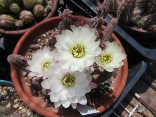 カマエロビビア・シュガーホワイト(白花)2020.05.08
