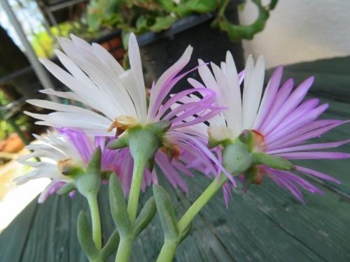 2色咲の松葉菊(白とピンク)白花マツバギクから2色咲の花がまた咲いたので、挿し木しているとその脇の花芽も2色咲の花になりました。2020.05.17