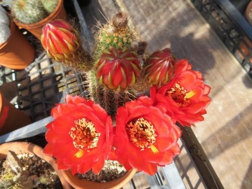ソエレンシア・花勢竜(交配種?)下蕾から開花して大輪美花♪2020.05.17