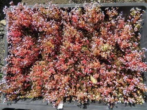 セダム・カウルレア(毎年こぼれ種で繋げる1年草)昨年の苗床で発芽してそのまま只今開花中♪2020.05.17