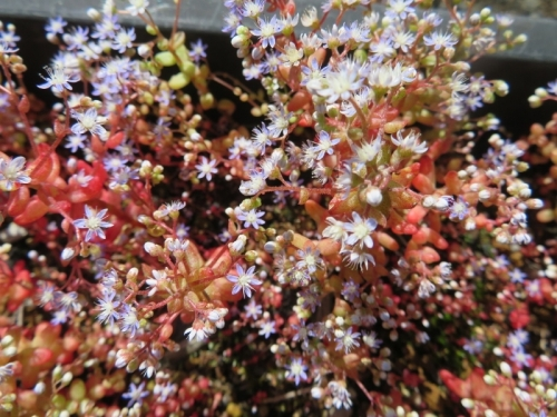 セダム・カウルレア、カスミソウの様な細かいブルー花♪日当たりで赤く紅葉中(毎年こぼれ種で繋げる1年草)昨年の苗床で発芽してそのまま只今開花中♪2020.05.17