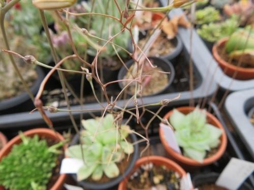 ブルビネ・メセンブリアントイデス(Bulbine mesembryanthoides)に種子ができました♪2020.05.23