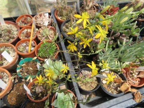 ブルビネ・メセンブリアントイデス(Bulbine mesembryanthoides)5月5日くらいから咲き続けています♪2020.05.24
