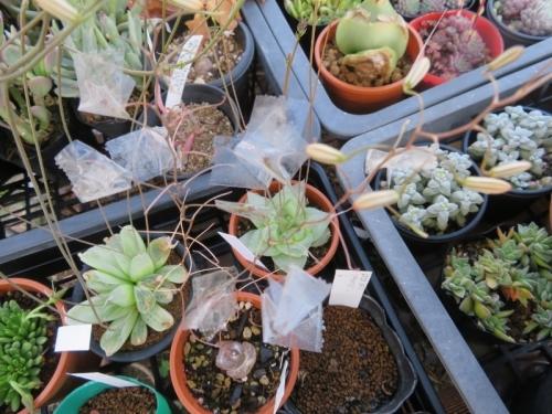 ブルビネ・メセンブリアントイデス(Bulbine mesembryanthoides)に種子が飛び散らないようにセロテープで留めました。♪2020.05.23