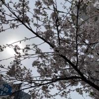 曇り空と桜D6800285-A475-478F-B06E-A3324C6EC7AB