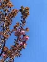 空と八重桜IMG_0938