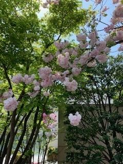 八重桜2IMG_1054