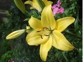 黄色い百合8386838A82CC89D41