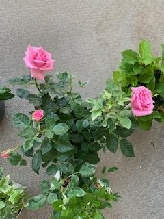 咲き始めたミニバラIMG_1277