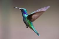 ハミングバードhummingbird-2139279_1280