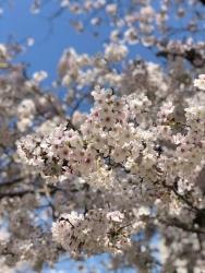 200410_05桜up