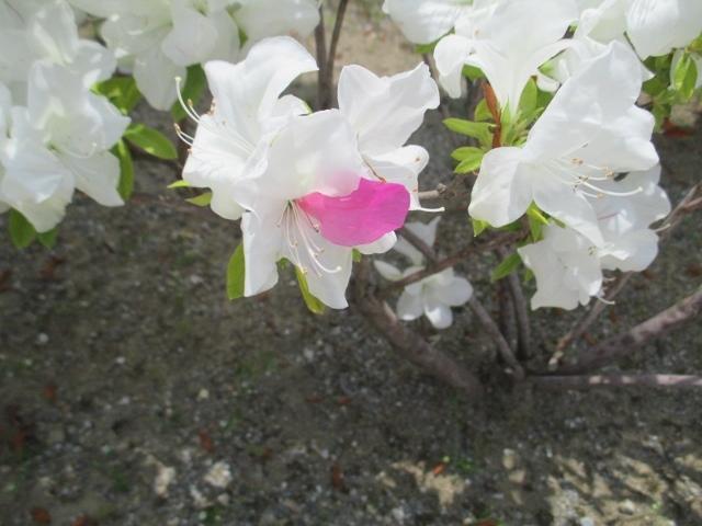 白い花にピンクの花びらが落ちたように見えたツツジ