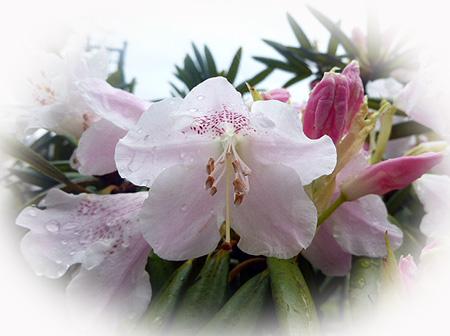 0416石楠花1