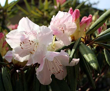 0416石楠花