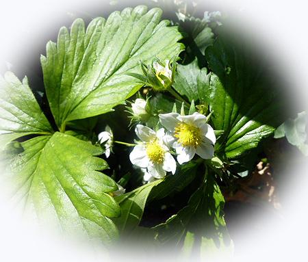 0424苺の花