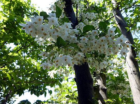 0511エゴノキの花1