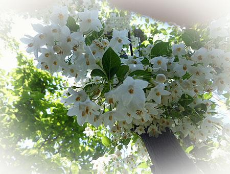 0511エゴノキ 花