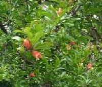 ザクロのお花
