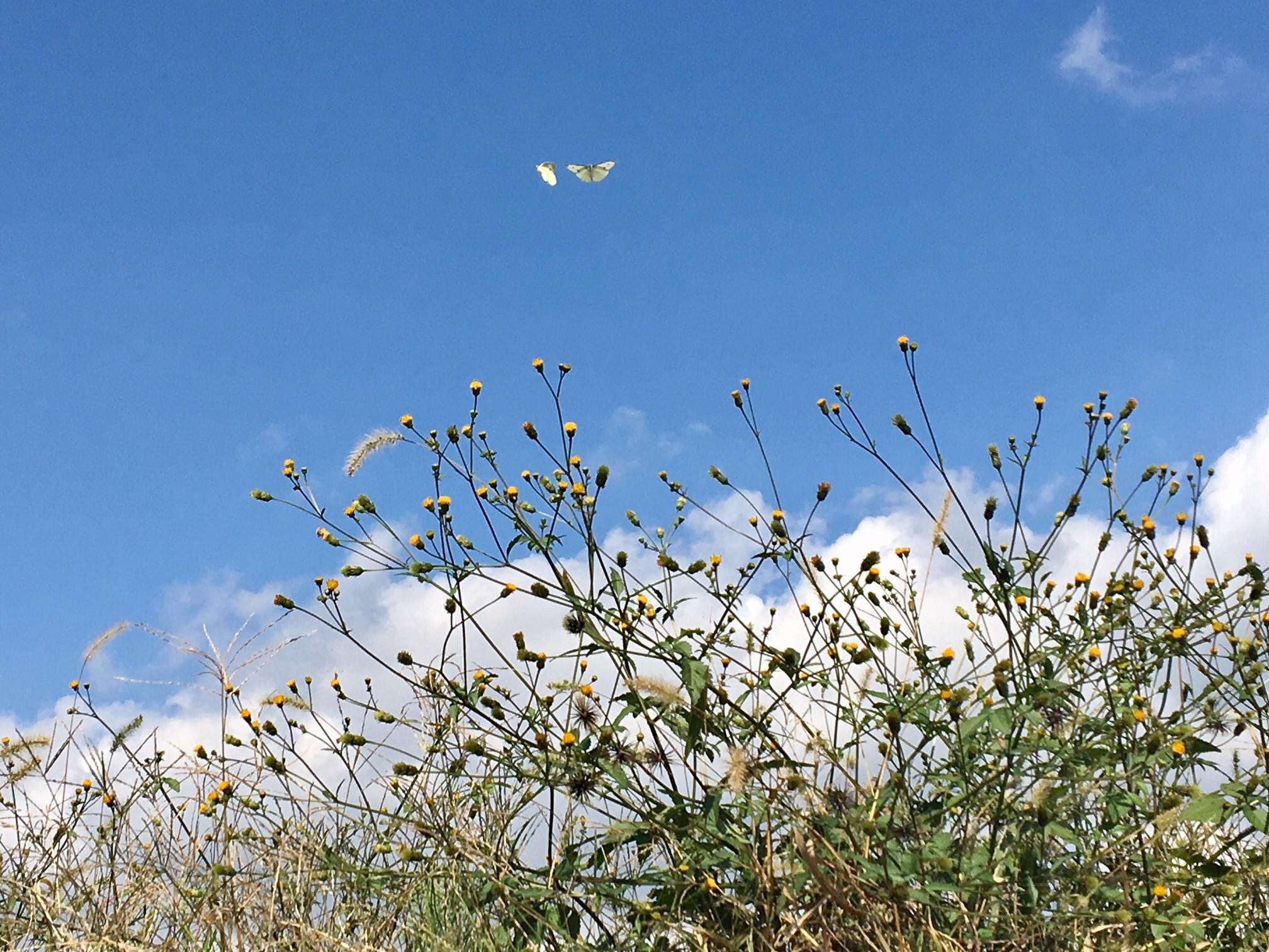空に舞い上がる蝶2匹