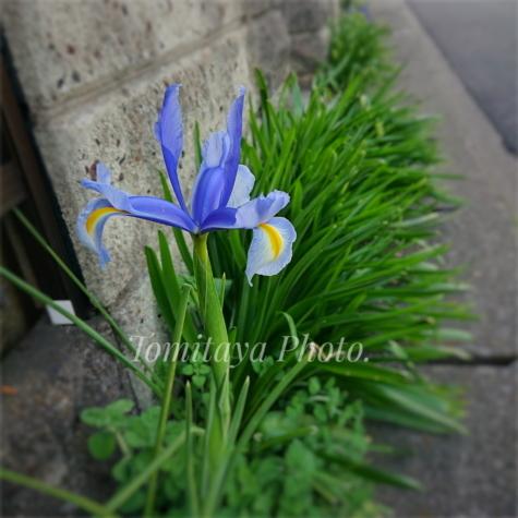 ハナショウブ 菖蒲 花 2020