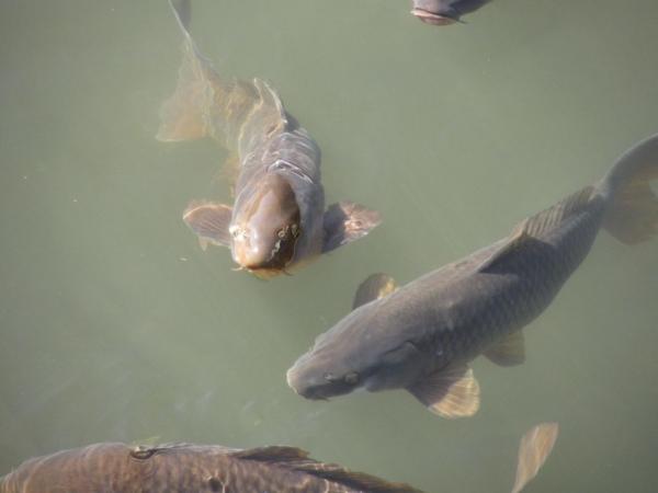 山王川の鯉
