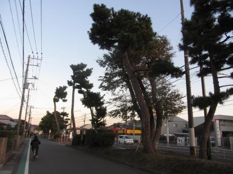 国府本郷の東海道松並木