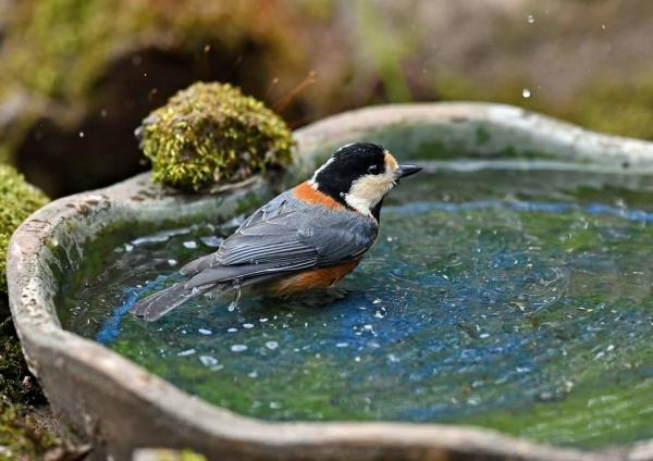 ヤマガラ水浴び3 DSV_3292