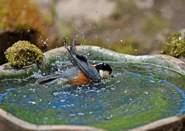 ヤマガラ水浴び4 DSV_3306