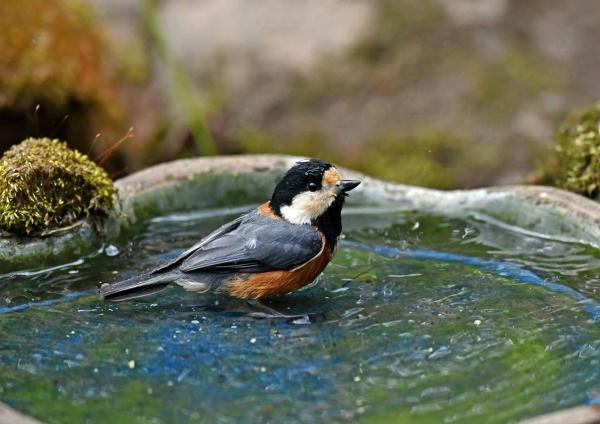 ヤマガラ水浴び5 DSV_3310