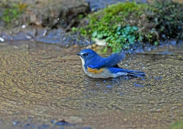 ルリビタキ7水浴び DSU_1420