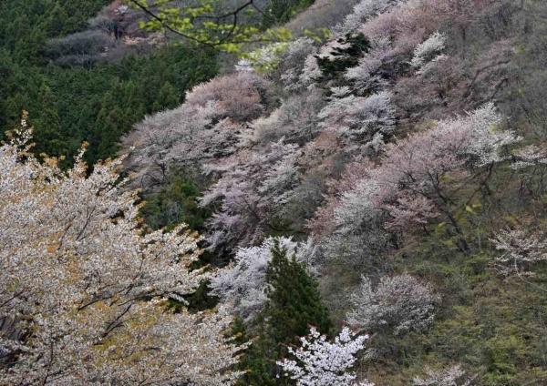 山桜 DSF_7015