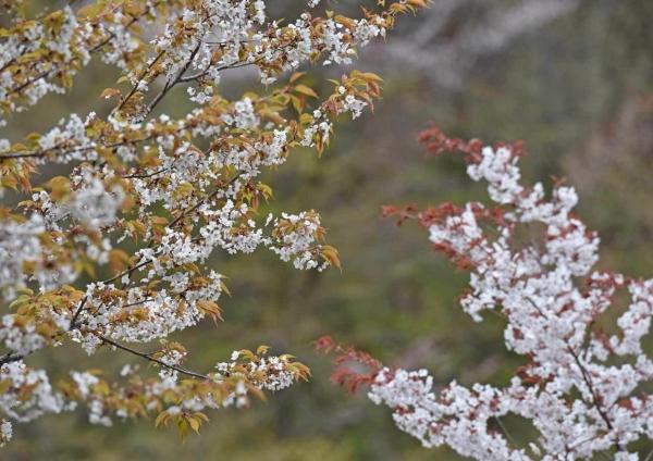 山桜 DSF_7028