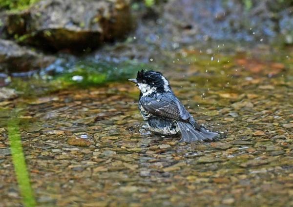 ヒガラ2水浴び DSW_5915