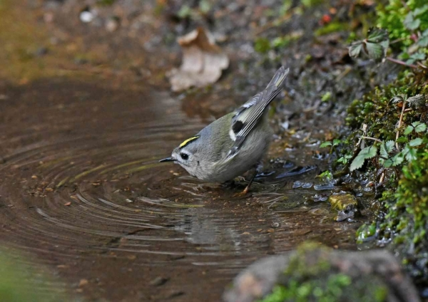 キクイタダキが水浴び1 DSU_6785