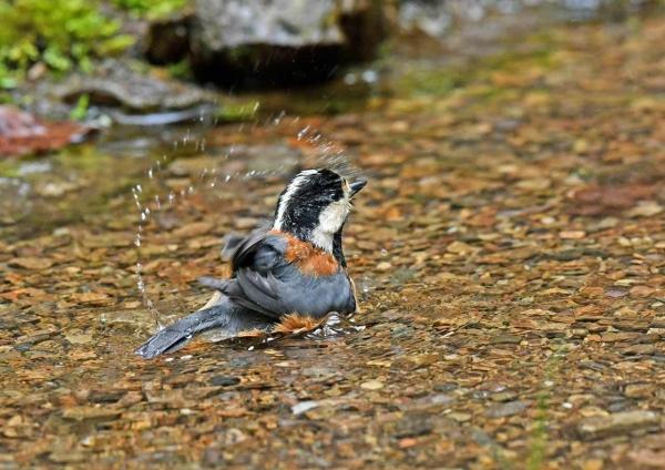 ヤマガラ5水浴び DSW_1451