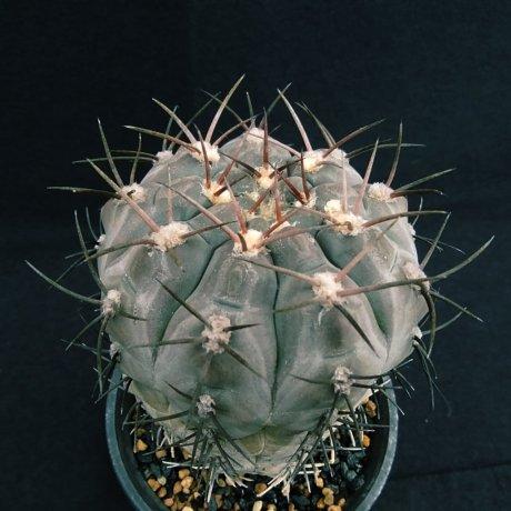 200226--DSC_4410--glaucum--.jpg