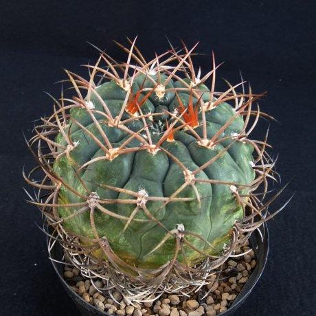 191028--DSC_3591---carminanthum v montanum--JL 35a--Piltz seed 5210--ex Milena