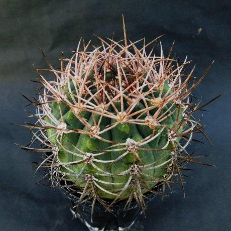 191127--DSC_3782--coloradense--XVJ 073--Sierra Los Coloradps--Bercht seed 2414(2012)