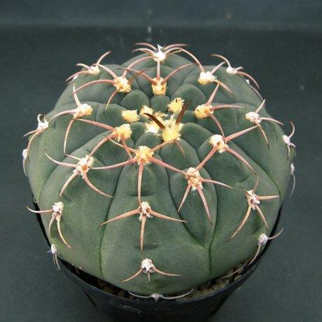 140914--Sany0122--bayrianum--Sierra Ancasti bei El Alto--Amerhauser seed(1998)--ex Tutiya