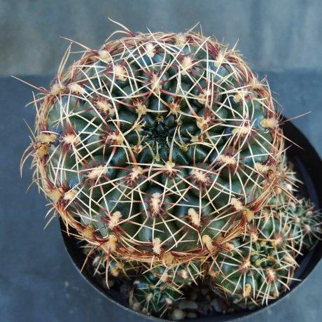 191210--DSC_3917--mesopotamicum--lB 2299--Bercht seed