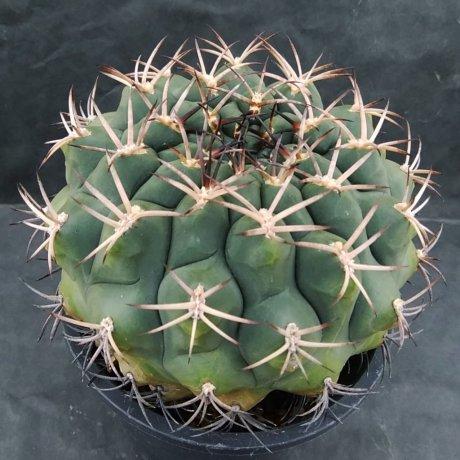 191221--DSC_3973--lumbrerasense--FR 962--mesa seed 469.63