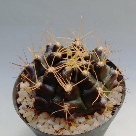 191229--DSC_4015--ppseudomalacocarpus--VoS 03-54--VoS seed (2015)