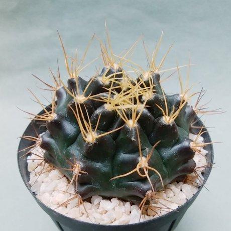 191130--DSC_3812--pseudomalacocarpus--VoS 03-054--el Carmen west Santa Cruz Bolivia--VoS seed (2015)