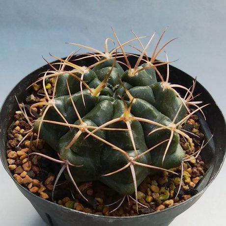 191229--DSC_4018--pseudomalacocarpus--VoS 03-54--El Carmen west Santa Cruz Bolivia 155m--VoS seed (2012)