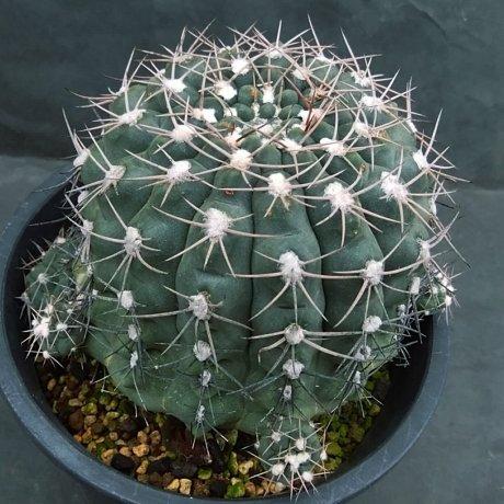 191231--DSC_4053--alboareolatum--P 221-koehres seed