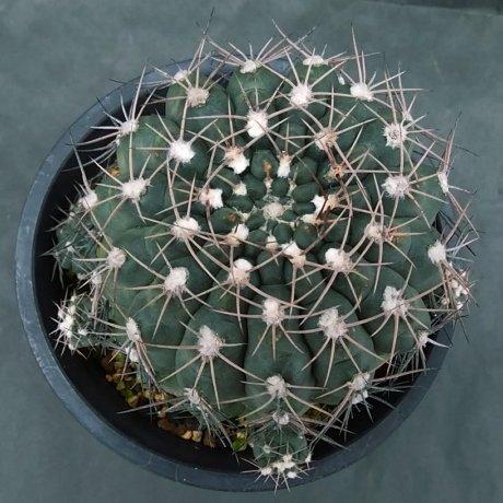 191231--DSC_4055--alboareolatum--Koehres seed