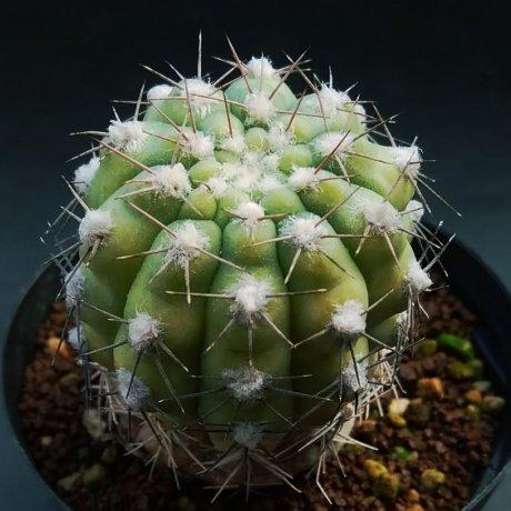 200102--DSC_4098--alboareolatum --P 221--Koehres seed--Sanagasta LR 1100m
